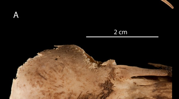 Fossil feathers from a Hawaiian cave help reveal lineage of extinct, flightless ibis