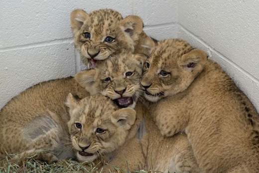 Lion cub summer school: Instead of learning their ABCs, the National Zoo's lion cubs are learning behaviors that will help animal care staff evaluate their health.