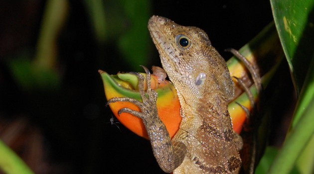 Reptiles may be spreading deadly amphibian disease in the tropics
