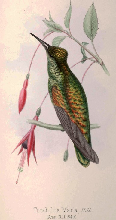 "Lithograph of the hummingbird Trochilus maria from the 1849 book Illustrations of Birds of Jamacia published in a recent paper in the journal Zootaxa ""Rediscovery of the holotype of Trochilus maria Gosse, 1849 (Aves: Apodiformes: Trochilidae)"" by Gary Graves of the Smithsonian's National Museum of Natural History and Robert Prys-Jones of the Natural History Museum, United Kingdom."