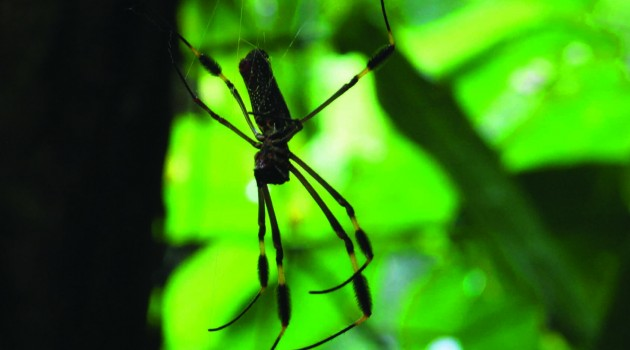 An adult Nephila clavipes, a big tropical spider, has plenty of room in its body for its brain. (Photo by Pamela Belding)