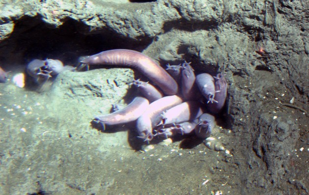 Pacific hagfish (Eptatretus stoutii) in a hole at 150 meters depth. Latitude 37 58 N., Longitude 123 27 W. California, Cordell Bank National Marine Sanctuary. 2004. Photographer: Linda Snook. Credit: NOAA/CBNMS.