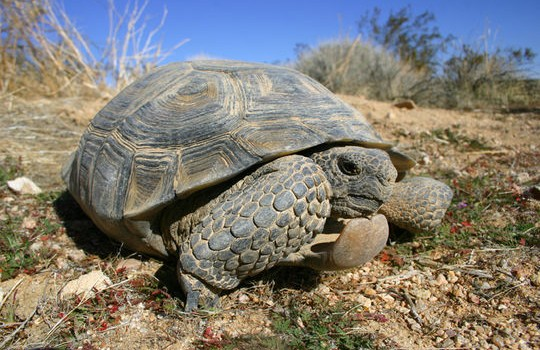 Why did the tortoise cross the road? A recent study indicates few do.