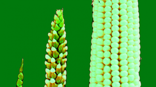 Wild forms of Zea mays are called 'teosinte'. Over time, selective breeding modifies teosinte's few fruitcases (left) into modern corn's rows of exposed kernels (right). (Photo courtesy John Doebley.)