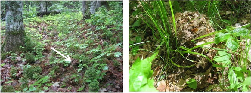 Ovenbird nests in earthworm-free forests (left, arrow pointing to nest opening) are well-concealed.  In areas with invasive earthworms (right), nests are less concealed and therefore more vulnerable to predators. (Photos by Scott Loss)