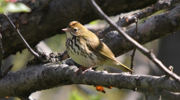 Earthworms to blame for decline of Ovenbirds in northern Midwest forests, study reveals