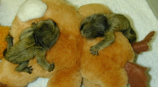 Is obesity predestined at infancy? Marmoset study may help scientists find out.