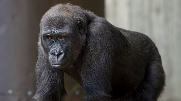 Heart disease study to benefit lowland gorillas at the National Zoo