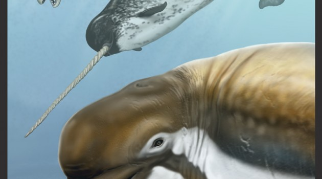 An artist's conception of Bohaskaia monodontoides, foreground. Behind and above are a beluga and narwhal. (Artwork by Carl Buell)