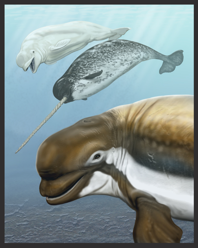 New fossil whale species raises mystery regarding why narwhals and ...
