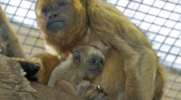 Howler monkey born at National Zoo