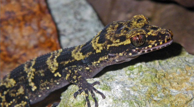 New 'Bumblebee' gecko discovered in Papua New Guinea