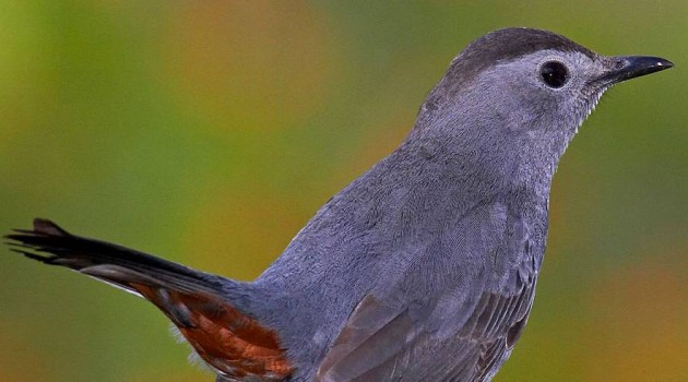 Gray catbird (Photo by Gerhard Hofmann)