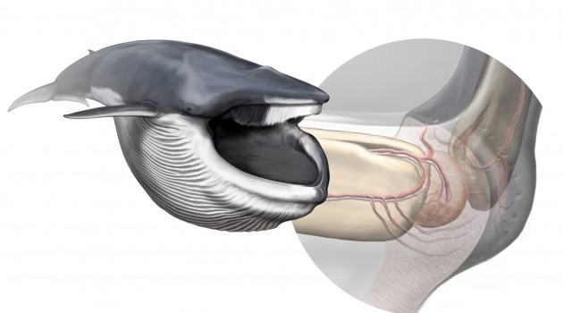 Image right:  A new sensory organ, found within the chin of rorqual whales, is responsible for coordinating the biomechanics of their extreme lunge-feeding strategy. Left, a fin whale after lunging; right, anatomy of the new sensory organ. (Art by Carl Buell, arranged by Nicholas D. Pyenson / Smithsonian Institution)