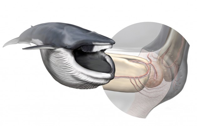 A new sensory organ, found within the chin of rorqual whales, is responsible for coordinating the biomechanics of their extreme lunge-feeding strategy. Left, a fin whale after lunging; right, anatomy of the new sensory organ. Art by Carl Buell, arranged by Nicholas D. Pyenson / Smithsonian Institution.
