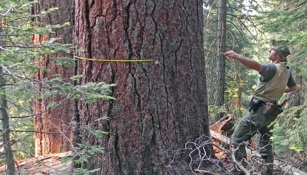 Heavyweight trees are forest champs at sequestering carbon