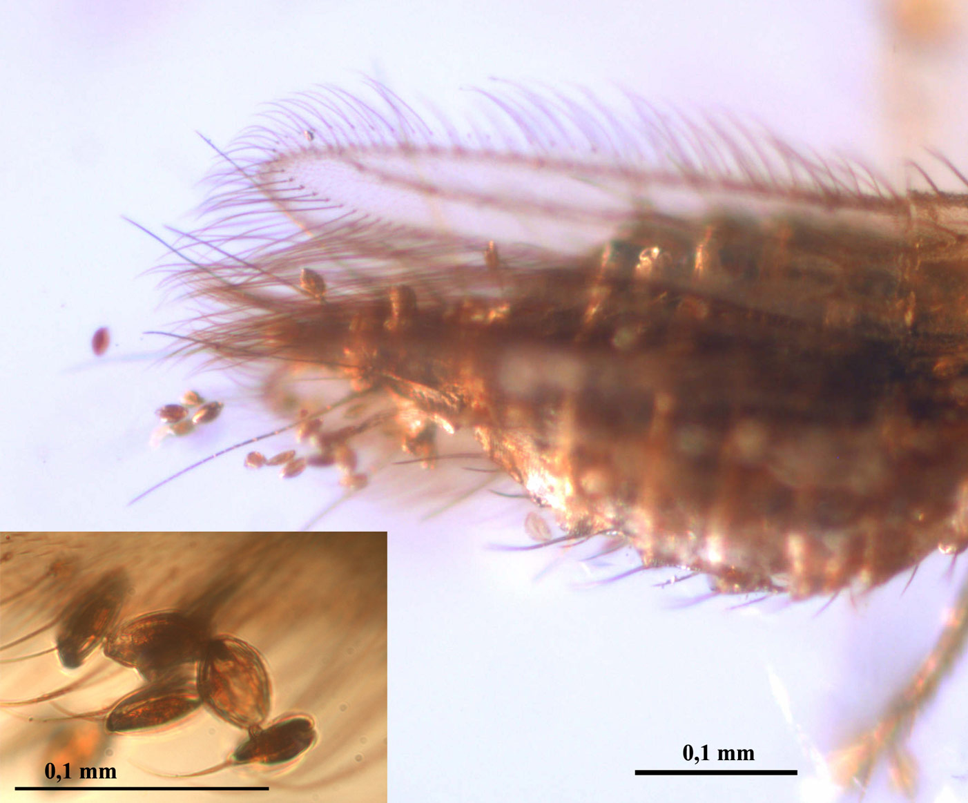 Fossilized Beetle Is Earliest Evidence of Insect Pollinator