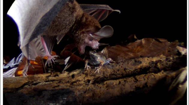 With picky eating, bats avoid poison prey