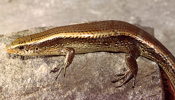 Speaking of skinks: short limbed, long tailed & prehistoric