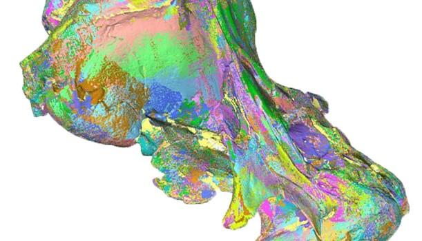 Walrus whale 3-D skull scan