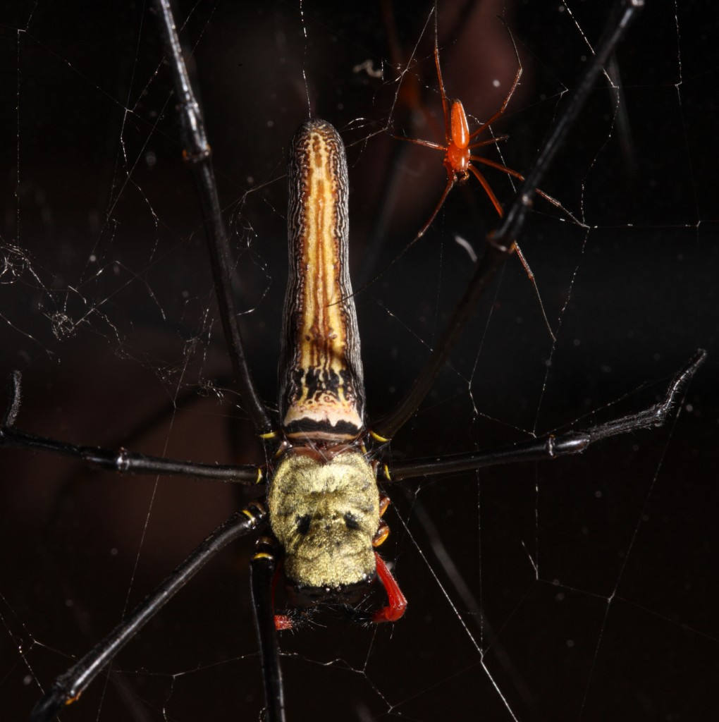 Above: This image shows sexual size dimorphism, large female and small male, in the spider Nephila pilipes. (Photo by Matjaž Kuntner)