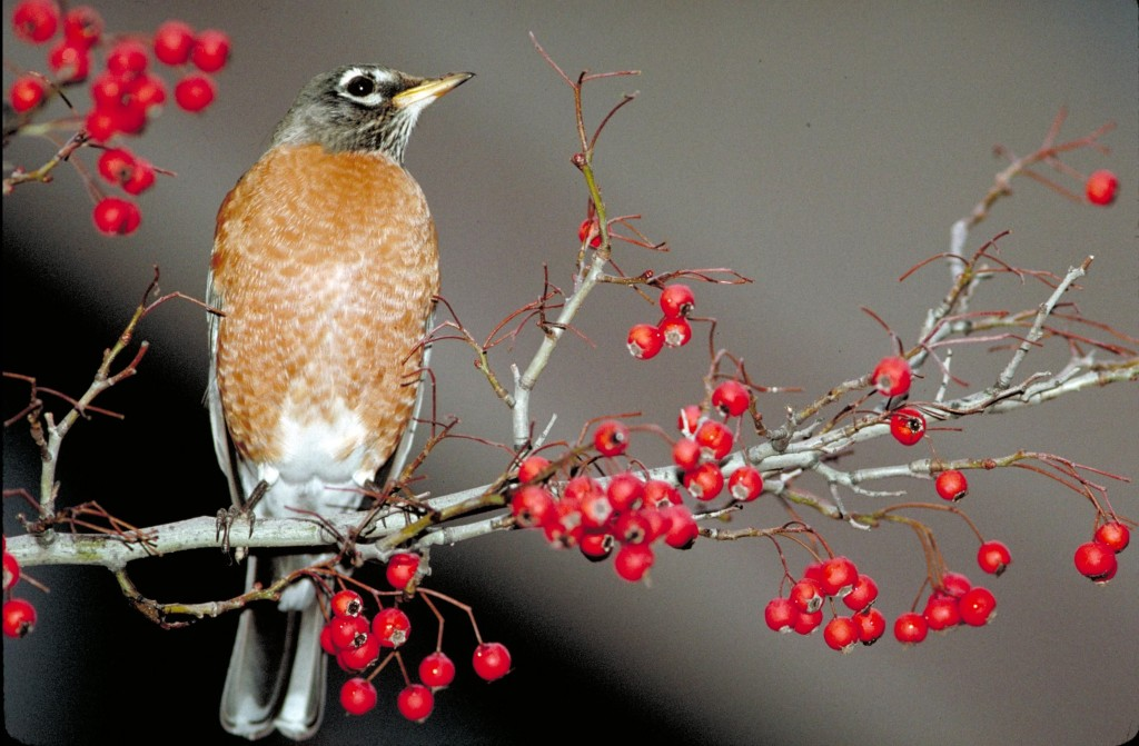 An American robin. (Image by Thomas G. Barnes, U.S. Fish and Wildlife Service)