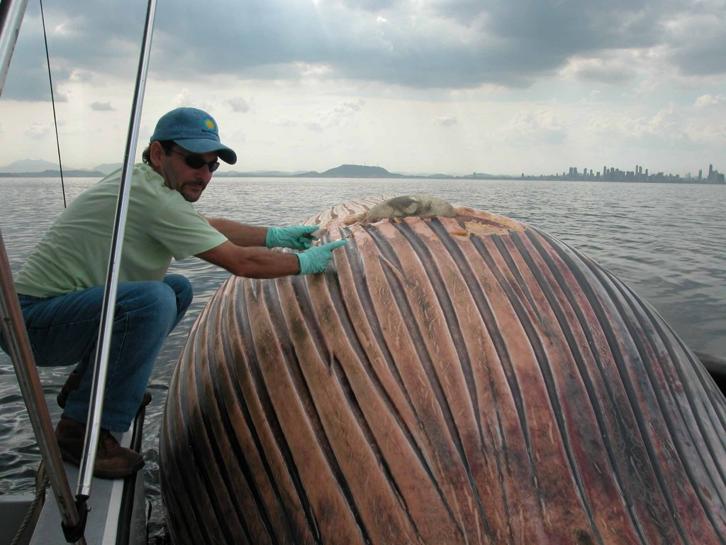 STRI scientist Hector Guzman with a dead bryde whale struck by a ship in front of Panama City near the entrance to the Panama Canal. (Photo by Carlos Guevara)