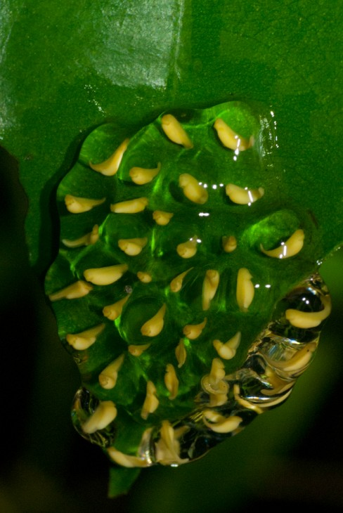 Image: Pantless tree frog embryos within the eggs on a leaf surface.  The embryos die within a day if there is no rain to moisten the egg mass.