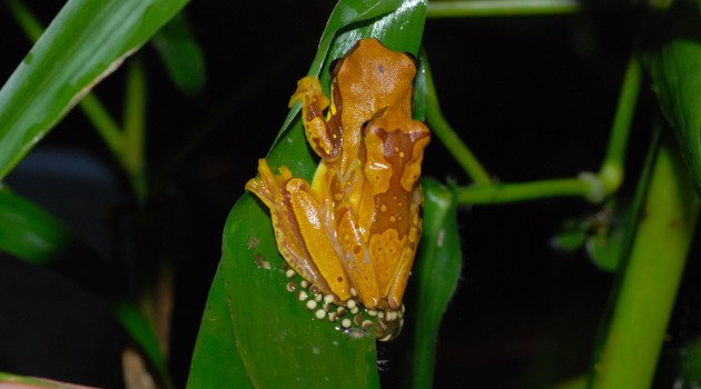 Image above: Pantless tree frogs, Dendropsophus ebraccatus, in amplexus. The female, underneath the male, is laying eggs in a jelly-like matrix. This species can lay its eggs either in water or out of water. (Photos by Justin Touchon)