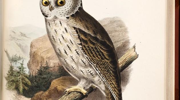 Western Mottled Owl