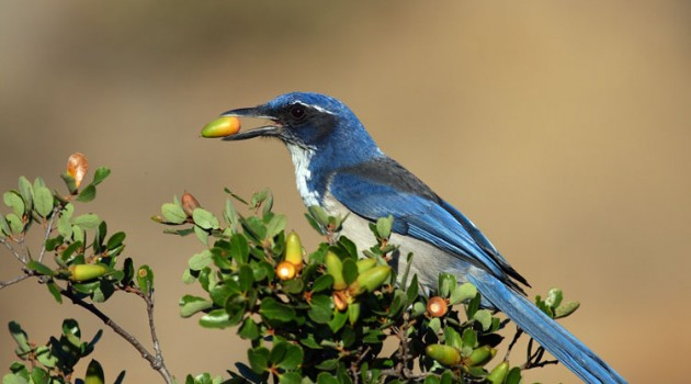 New count reveals scrub-jay on Santa Cruz Island is among rarest bird species in the U.S.