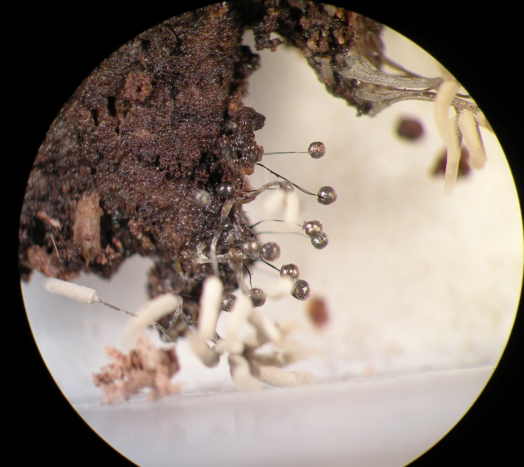 Panama's slime molds get attention from Arkansas University grad student