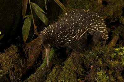 Image above: The western long-beaked echidna, one of the world's five egg-laying species of mammal, was thought to be extinct in Australia. However scientists have found evidence that it may still roam the country's north-western region.