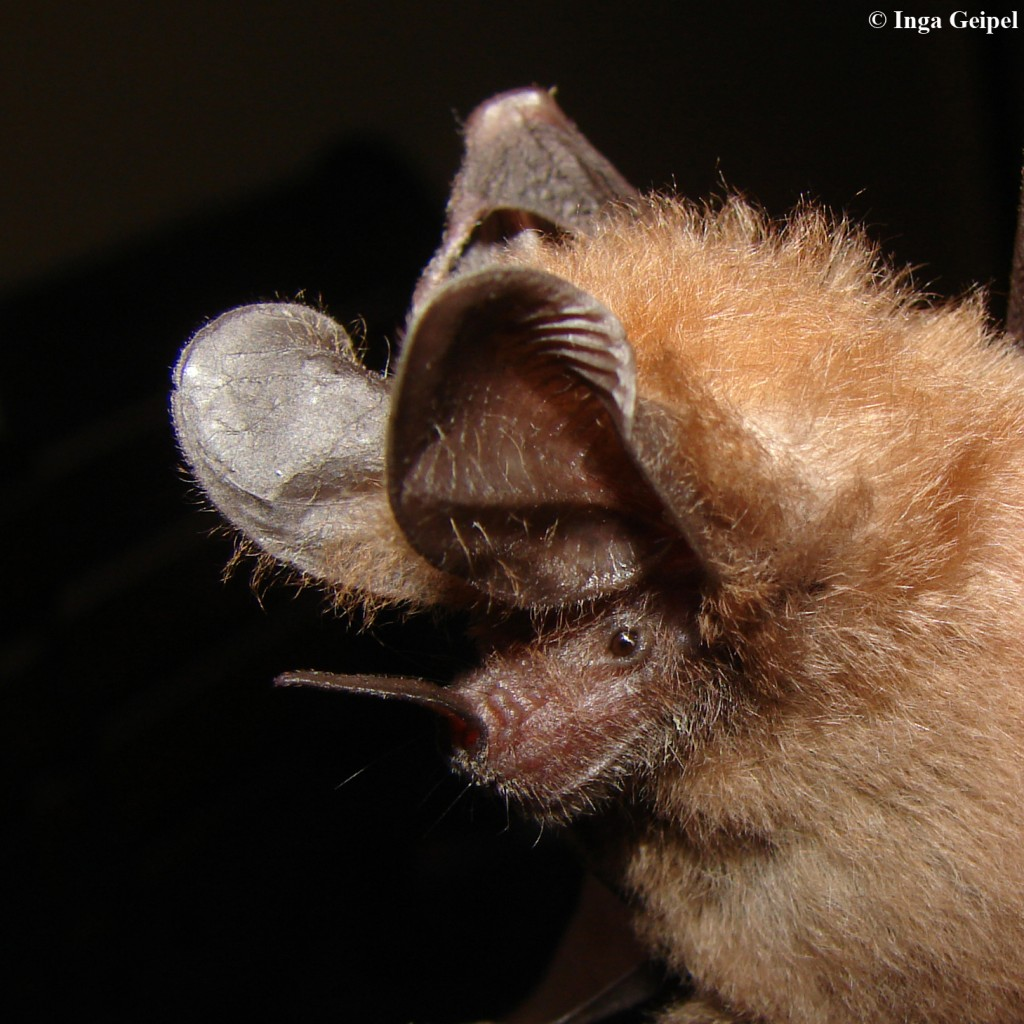 Common tropical bat uses echolocation with precision previously considered impossible, new experiments reveal