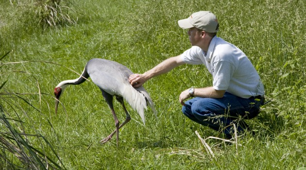 With no credit to Cupid, white-naped crane couples remain faithful for life