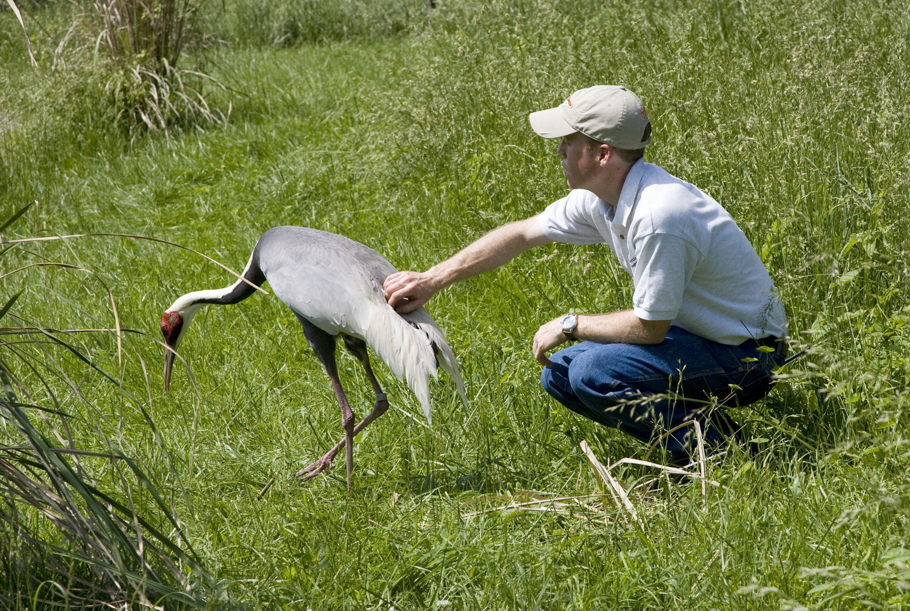 With No Credit To Cupid White Naped Crane Couples Remain Faithful