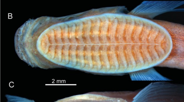 Head of a young remora (Remora osteochir)  26.7 millimeter long as seen fron the (A) side, (B) top and (C) front. (Images courtesy David Johnson)
