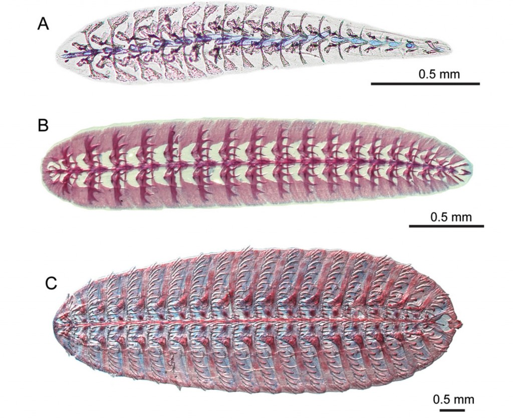 This image shows three stages of sucking disc development in Remora as seen from above. (A) is the species Remora brachyptera; (B & C) is the species Remora remora.