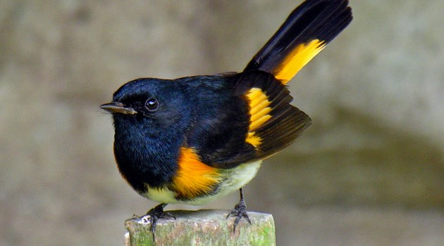 Small migratory birds age faster in stressful places, study reveals
