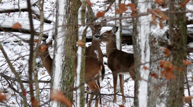 Browsing suburbia: Virginia's parceled-up farms and forests are ideal refuge for white-tailed deer