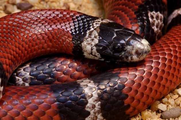 Sinaloan milk snake is native to Sonora, Sinaloa and into southwestern Chihuahua, Mexico
