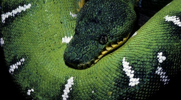 Emerald tree boa at the National Zoo. These snakes are native to the rainforests of South America (Photo by Jessie Cohen)