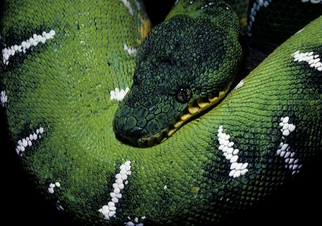 Emerald tree boa at the National Zoo (Photo by Jessie Cohen)