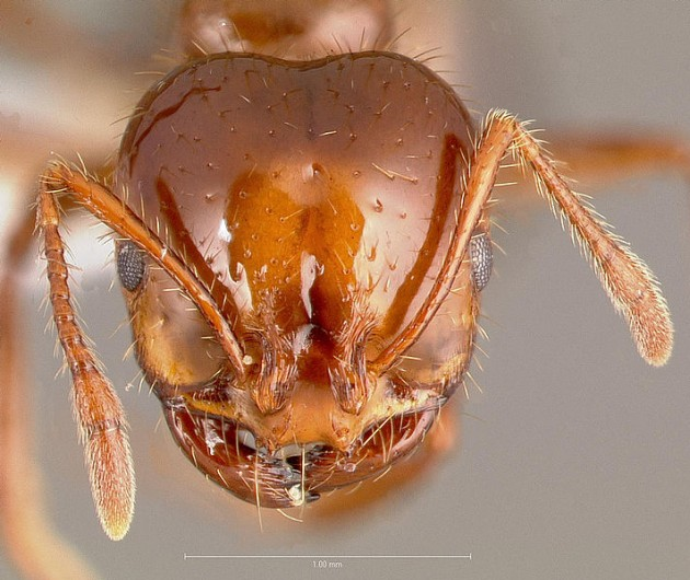 712px-Solenopsis_invicta_casent0005804_head_1