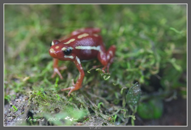 The Ecuadorian poison dart frog, Epipedobates anthonyi