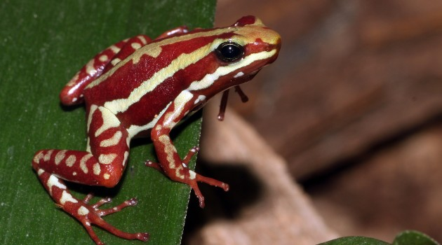 Poison dart frog toxins best suited for deterring biting arthropods, research reveals