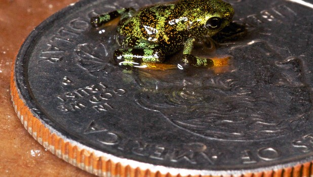 Success in breeding endangered frogs!