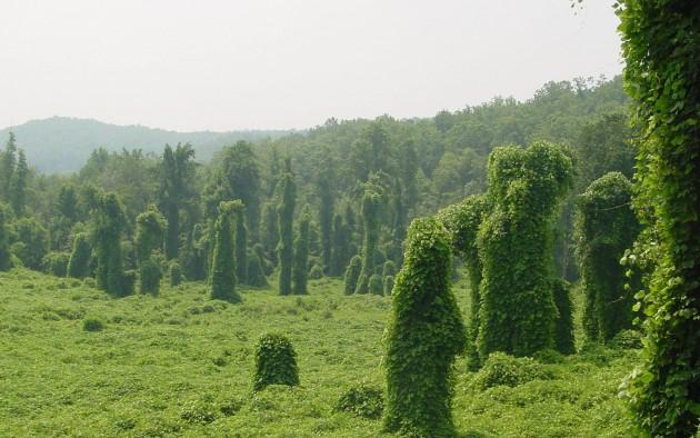 kudzu covered trees
