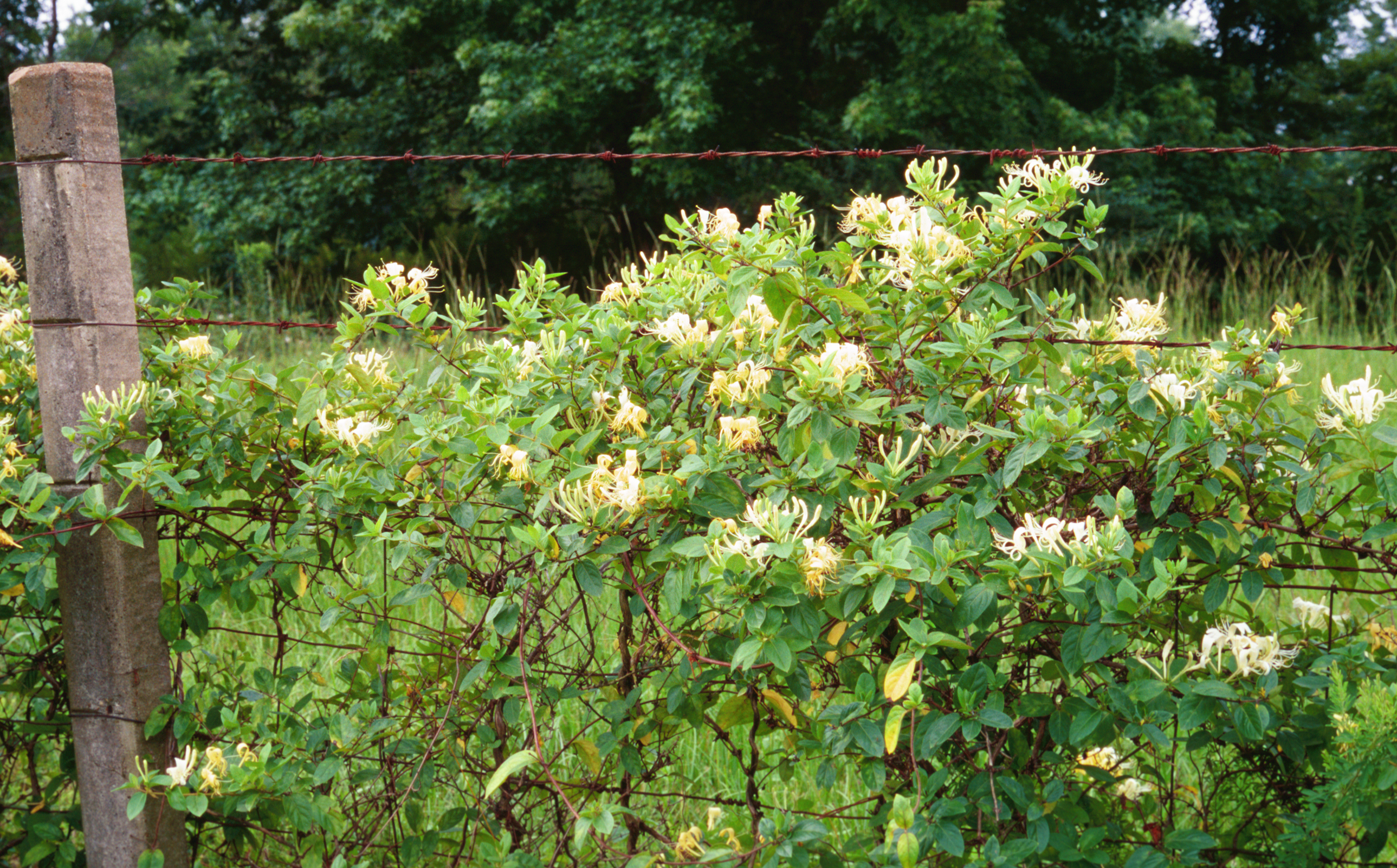 Escape of the invasives top six invasive plant species in for Garden trees types