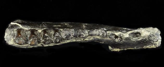 Arretotherium meridionale UF244187